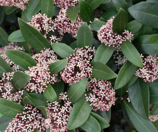 Vaste planten | Skimmia | Tuincentrum De Schouw | Houten