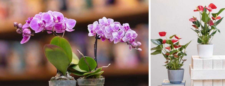 Bloeiende kamerplanten kopen bij Tuincentrum De Schouw in Houten
