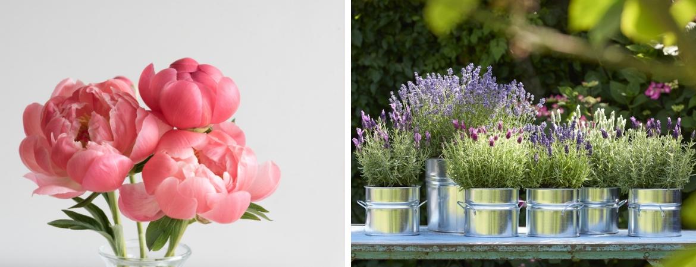 Vaste planten, zoals Lavendel en Pioenrozen koopt u bij Tuincentrum De Schouw in Houten, nabij Utrecht